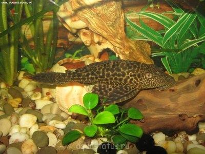 Помогите опознать рыбку опознание рыб  - IMG_0249.JPG