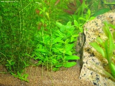 Опознание аквариумных растений - DSC04245.JPG