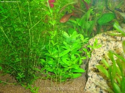 Опознание аквариумных растений - DSC04246.JPG