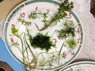 Опознание аквариумных растений - фотография 3.JPG