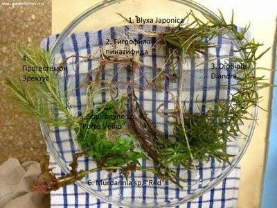 Аквариумные растения - опознание растений. - фотография 2.JPG
