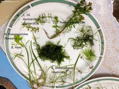 Аквариумные растения - опознание растений. - фотография 3.JPG