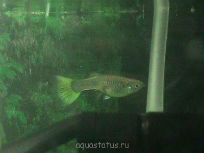 Помогите опознать рыбку опознание рыб  - DSC00217.JPG