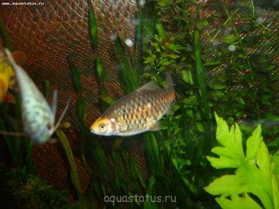 Помогите опознать рыбку опознание рыб  - P1000430.JPG