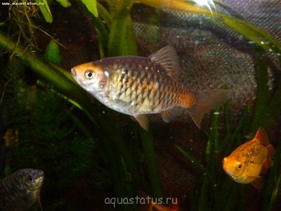 Помогите опознать рыбку опознание рыб  - P1000422.JPG
