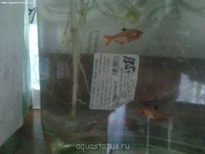 Помогите опознать рыбку опознание рыб  - Фото0538.jpg
