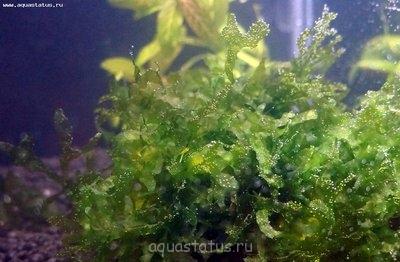 Аквариумные растения - опознание растений. - DSC00596.JPG