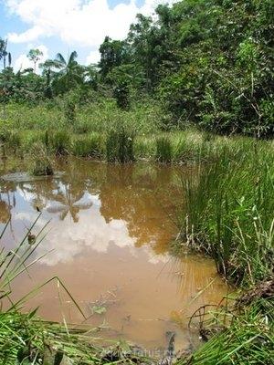 Кренухус тюлевый Crenuchus spilurus  - Crenuchus-spilurus-habitat-near-Iquitos-Peru-Kim-M.jpg