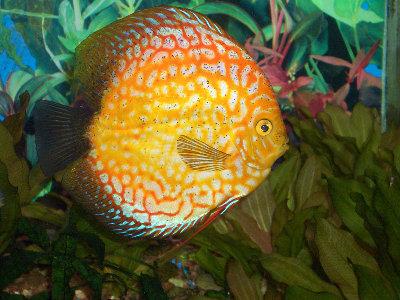 Мои пресноводные аквариумы Сергей  - 6.JPG