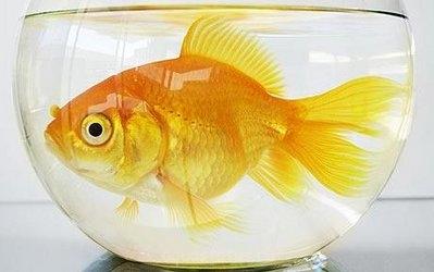 Золотые рыбки и объем аквариума - goldfish1.jpg