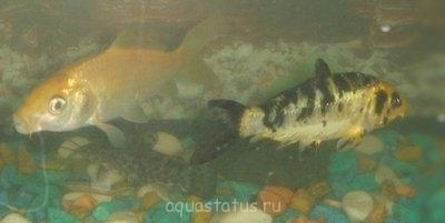 Помогите опознать рыбку опознание рыб  - рыбы.jpg