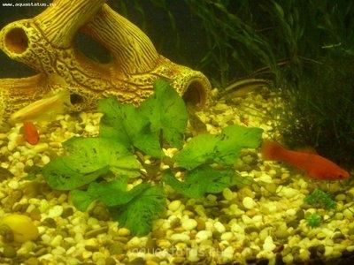 Аквариумные растения - опознание растений. - Моя нимфея.jpg