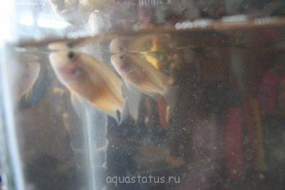Помогите опознать рыбку опознание рыб  - IMG_9732.JPG
