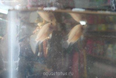 Помогите опознать рыбку опознание рыб  - IMG_9735.JPG