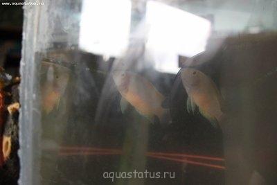 Помогите опознать рыбку опознание рыб  - IMG_9788.JPG