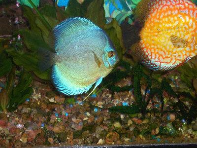Мои пресноводные аквариумы Сергей  - 5.JPG