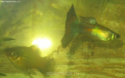Помогите опознать рыбку опознание рыб  - гуIMG_1144.jpg