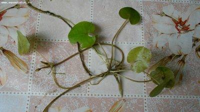 Аквариумные растения - опознание растений. - DSCN0707.JPG