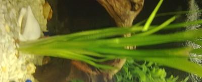 Аквариумные растения - опознание растений. - 13102010599.jpg