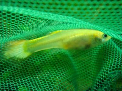 Проблема с рыбками, подскажите, плз.  - Lang 407.jpg