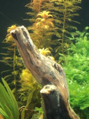 Мои аквариумы Алексей7  - DSC00227.JPG