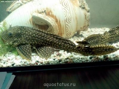 Помогите опознать рыбку опознание рыб  - IMG_20130831_134033.jpg