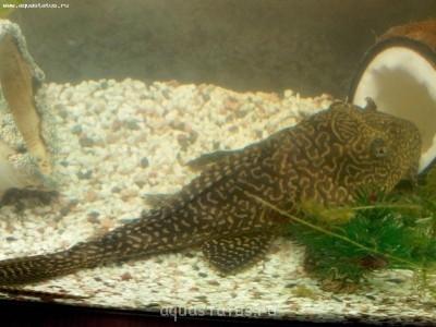 Помогите опознать рыбку опознание рыб  - IMG_20130831_134053.jpg