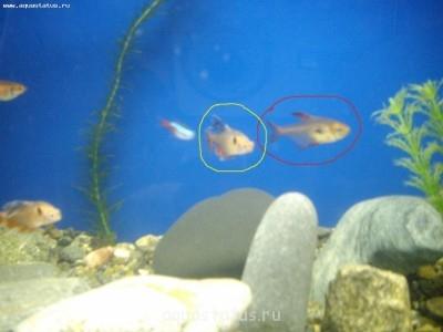 Помогите опознать рыбку опознание рыб  - IMGP4871.JPG