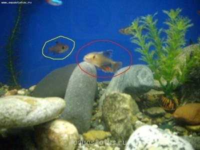 Помогите опознать рыбку опознание рыб  - IMGP4872.JPG