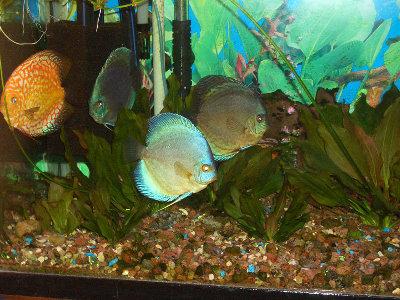 Мои пресноводные аквариумы Сергей  - 10.JPG