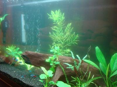 Цветение воды, зеленая вода, позеленела аквариум - 007.JPG