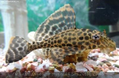Помогите опознать рыбку опознание рыб  - SAM_3530.JPG