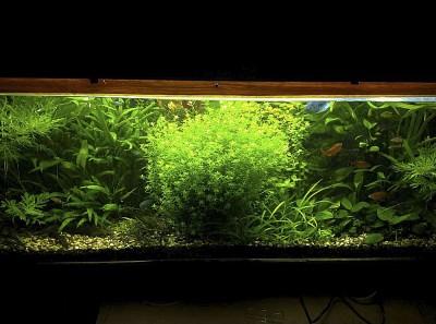 Фото аквариумов объемом от 101 до 250 литров - 190л 04.02.2011.jpg