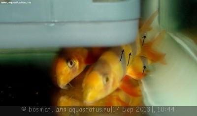Фото болезней аквариумных рыб - DSC03459ть.jpg