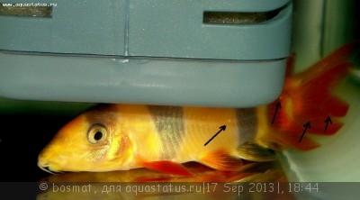 Фото болезней аквариумных рыб - DSC03455бь.jpg