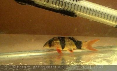 Фото болезней аквариумных рыб - DSC04954n.jpg