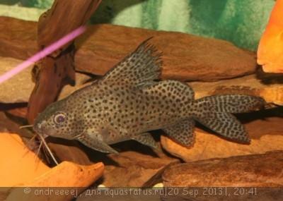 Помогите опознать рыбку опознание рыб  - 126945726.jpg