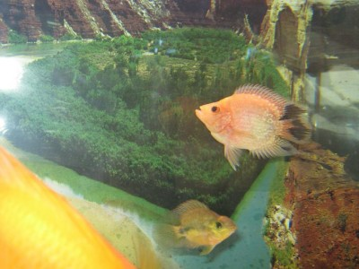 Помогите опознать рыбку опознание рыб  - Чернопопик.jpg