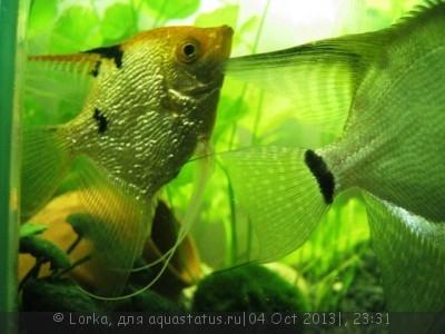 Помогите опознать рыбку опознание рыб  - Изображение 174.jpg