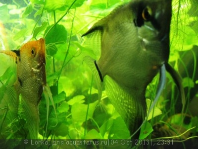 Помогите опознать рыбку опознание рыб  - Изображение 176.jpg