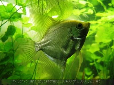 Помогите опознать рыбку опознание рыб  - Изображение 172.jpg