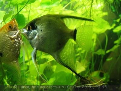 Помогите опознать рыбку опознание рыб  - Изображение 175.jpg