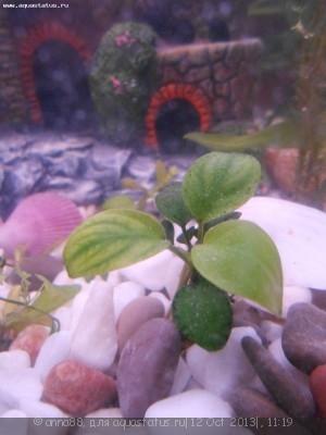 Опознание аквариумных растений - DSCN0634.JPG