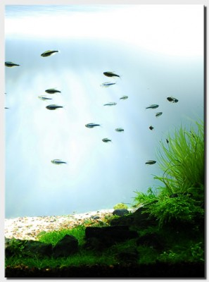 Акваскейп месяца: август 2010: Beyond the Nature  - 1_plantedtank_fish.jpg