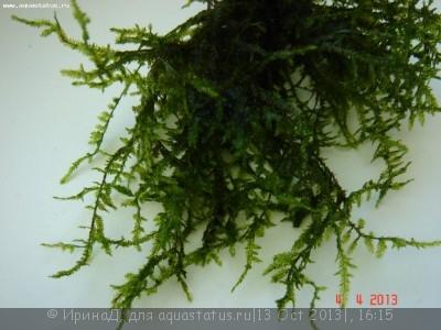 Аквариумные растения - опознание растений. - DSC04937.JPG