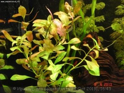 Аквариумные растения - опознание растений. - DSC04948.JPG