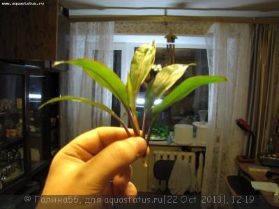 Аквариумные растения - опознание растений. - f8632176f4bc.jpg