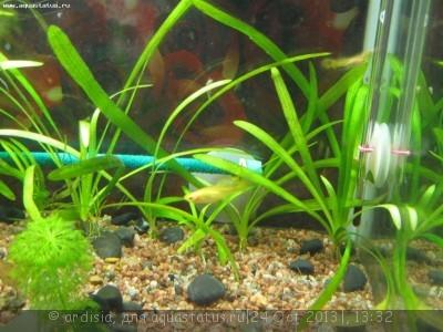 Опознание аквариумных растений - IMG_7191.JPG