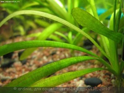 Аквариумные растения - опознание растений. - IMG_7193.JPG