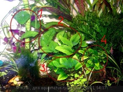 Аквариумные растения - опознание растений. - DSC06709_1.JPG